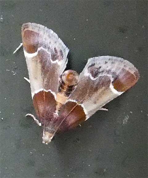 Moth - small