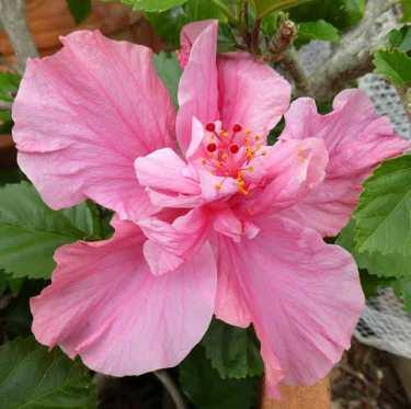 Hibiscus--pink